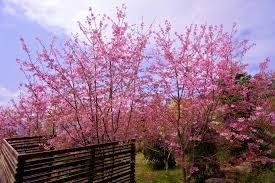 Alishan Sakura 2