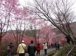Alishan Sakura