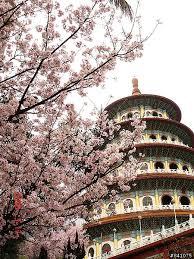 Danshui Sakura