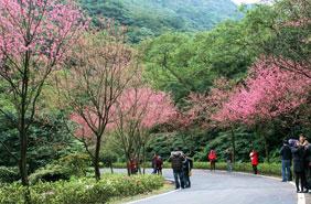 Wulai Sakura